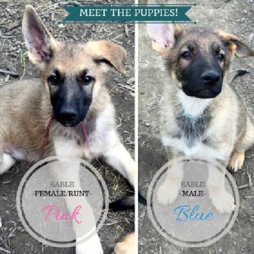 Purebred - Working Lines - German Shepherd Pups