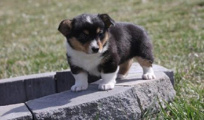 raewew Pembroke Welsh Corgi Puppies for Sale for sale in