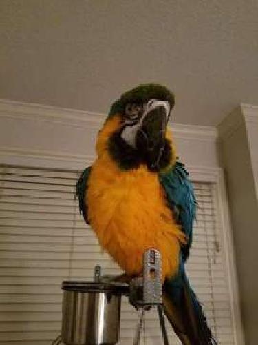 Rational Blue & Gold Macaws Parrots for Sale