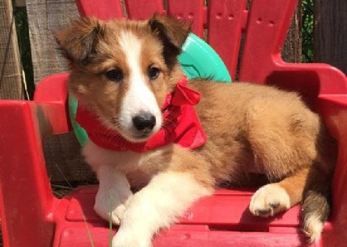.reefsdfdsa Shetland Sheepdog Puppies For Sale