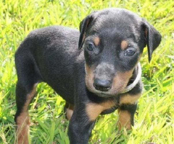 Reg. Doberman Pinscher puppies for sale