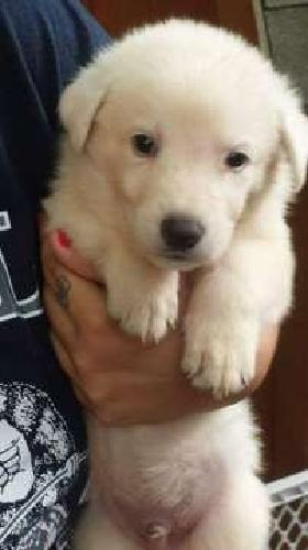 registered white german shephard puppies