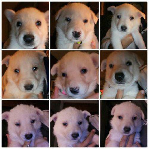 Registered white German Shepherd puppies