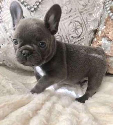 Rimm Blue French Bulldog Puppies