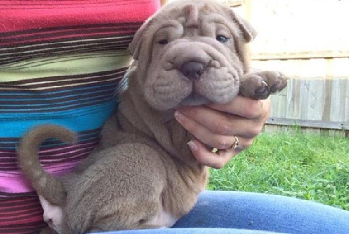 S self-confident Chinese Shar-Pei Puppies