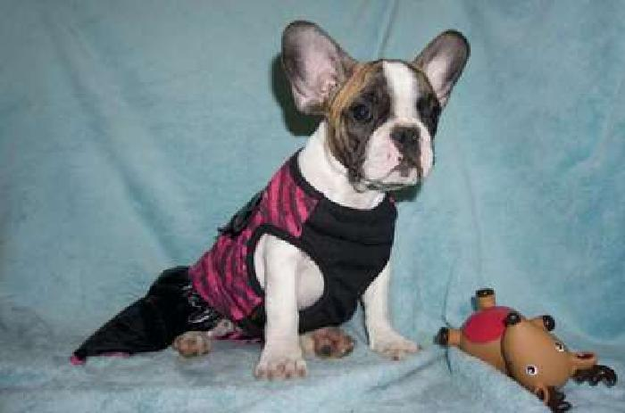 SALE up too $1000 OFF **French Bulldog puppies