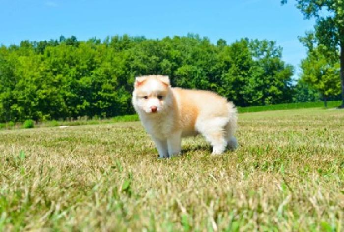 SDF Mix Breed ( Pomsky ) puppies for sale in Missoula