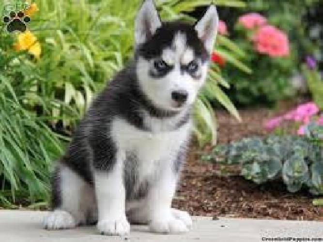 sdfhghfgjGorgeous akc registered siberian huskie puppies