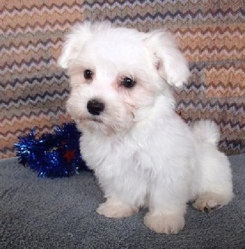 SHDG AKC Shela boys and girls Maltese Puppies for Sale