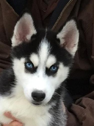 Siberian Husky Pups, AKC, Excellent Personalities