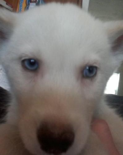 Siberian Husky White/Blue Eyes 1 Adult/1pup females