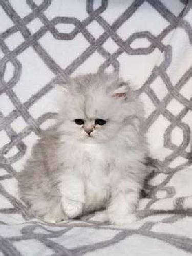 silver persian kitten cfa champion bloodlines. male