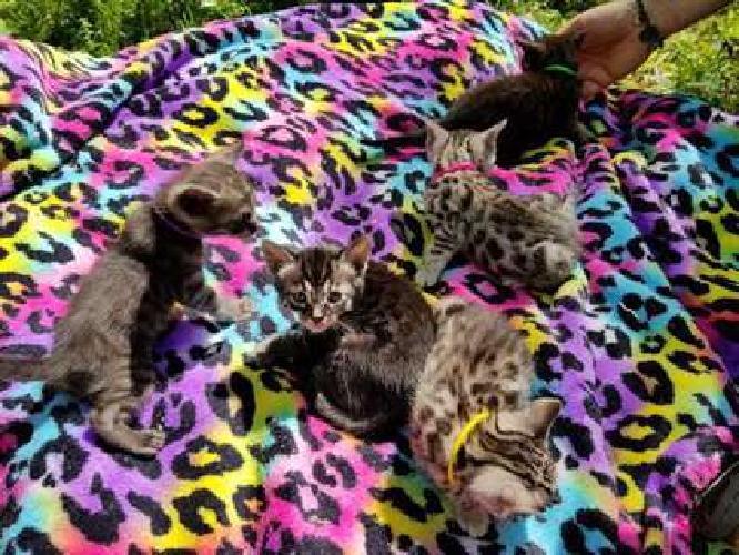Silver Smoke Bengal Kittens