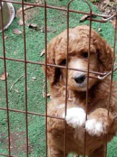 Smaller Standard Poodle Puppies