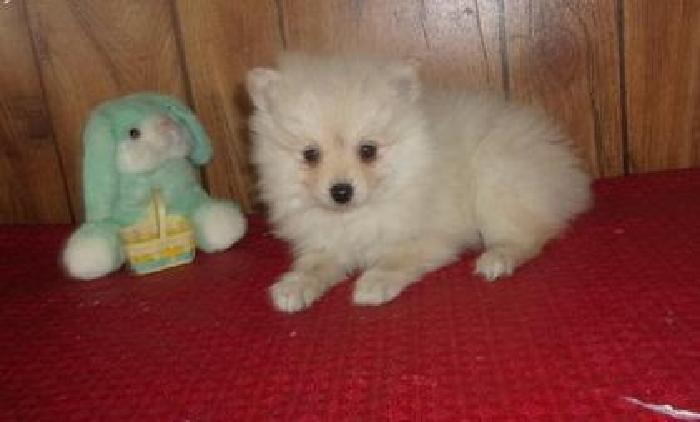 Snow white Teacup Pomeranian Pups For Sale