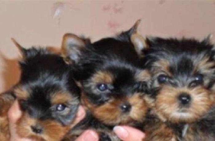 socialized Toy sizes registered Yorkshire terrier
