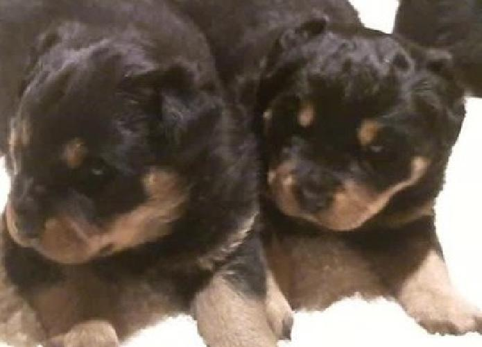 Solely, For Responsible, Families, Rottweiler Puppies