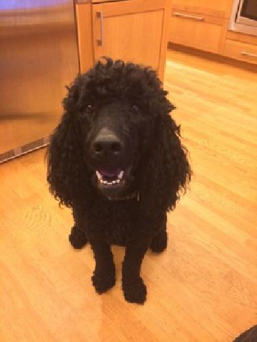 Standard Poodle, Black, Male, 3 years, AKC reg, service dog verified
