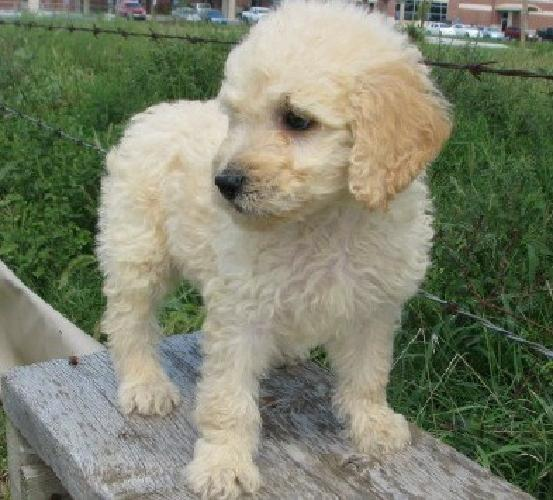 Strong GoldenDoodle Puppies for Sale
