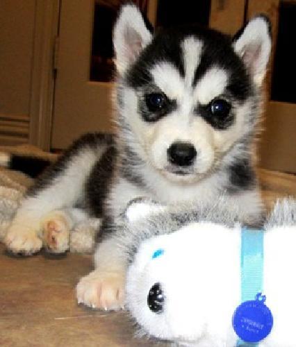 Super cute Siberian Husky puppy for sale