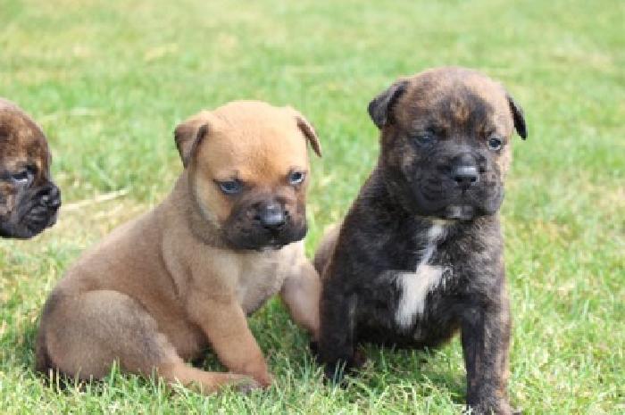 sweet baby Bullmastiff Puppies for sale