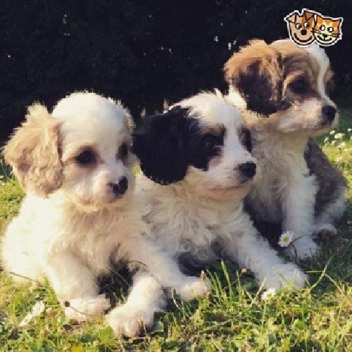 Sweet Cavapoo Puppiesfor sale