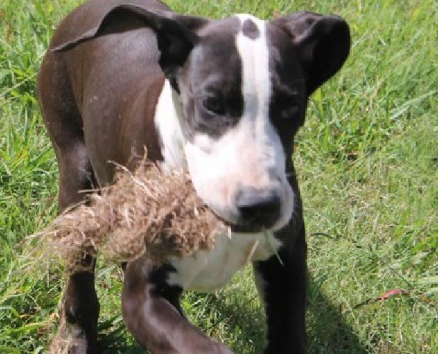 .t GREAT and Nice Great Dane pup