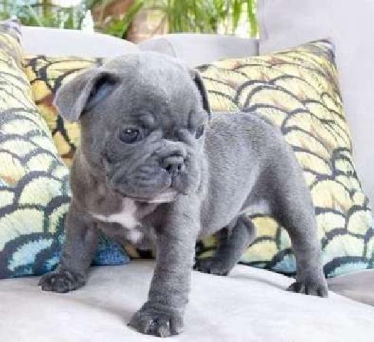 talented M/F French Bulldog Pups
