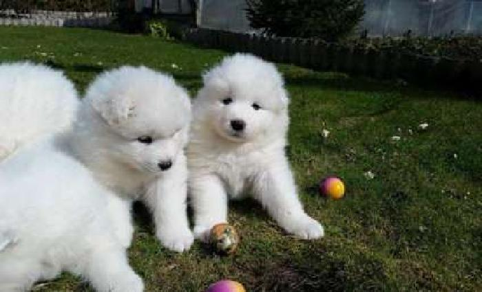 Tantalizing Champion Akc Working Lines Super Litter Samoyed Puppies Out going