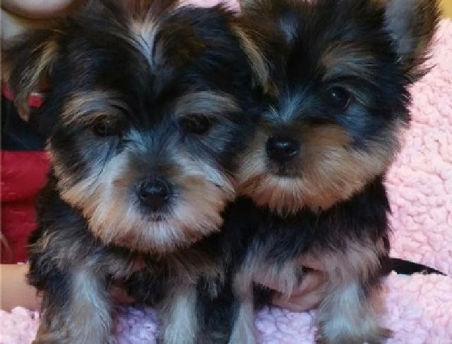 Teacup Cute Male and Female Yorkie Puppies