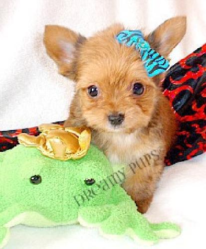 Teacup Yorkie Male Pups Blonde/Gold Baby Doll Faces They will steal your heart