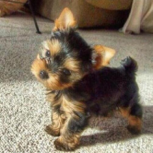 Teacup Yorkie Puppies Dad 22 Lbs Mom 41 Lbs Cutest Doll Faces Ever