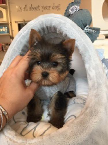 Teacup Yorkie Puppies Dad 22 Lbs Mom 4 Lbs Doll Faces For Sale In