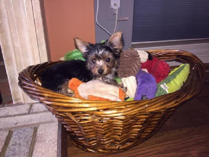 Teacup Yorkie Puppies For Sale In Stafford Virginia Classified