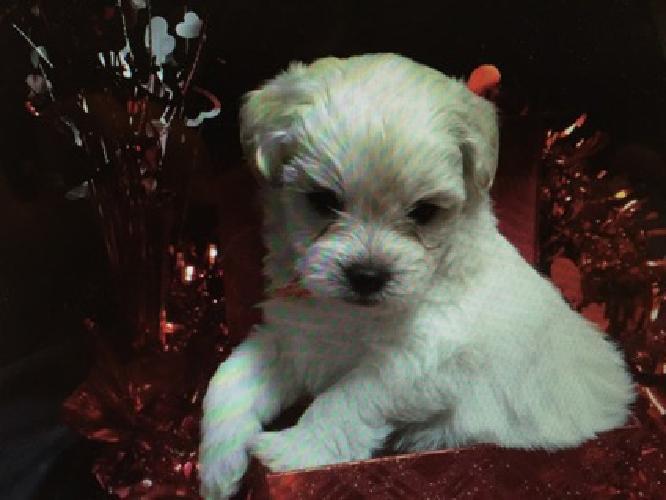 Teddy Bear Puppies, Bichon Frise / Shih Tzu aka Shichons