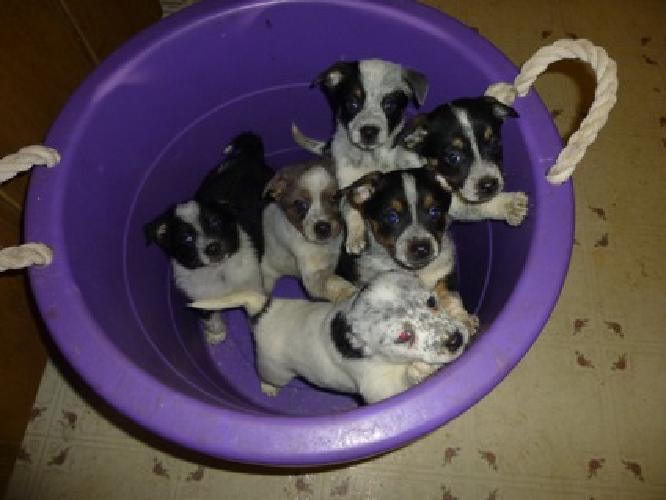Texas Heeler Puppies