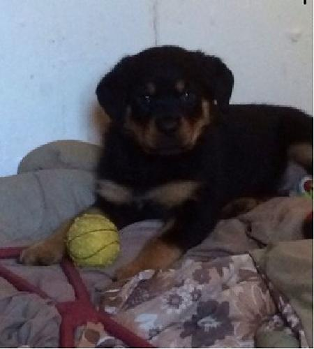 thehe stunning girls and one gorgeous boy Rottweiler for sale