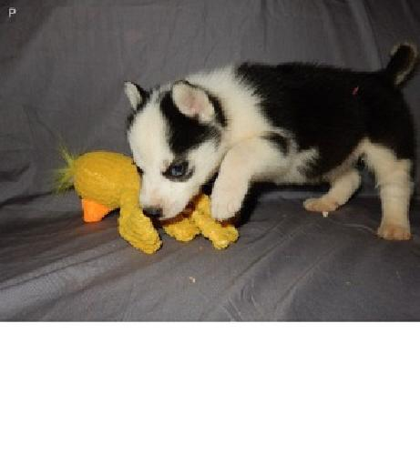 theron Siberian Husky Puppies Male/Female Available