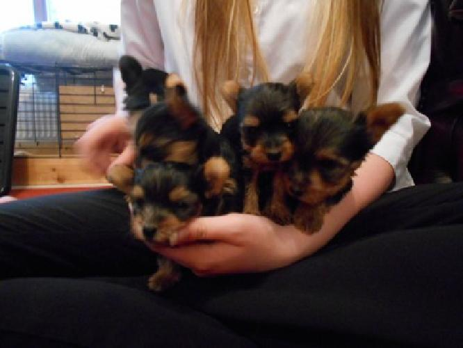 They are tiny little teacups, Yorkie all males.well socialized and lovable