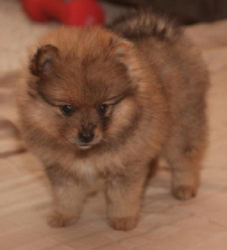 thgfredg Current vaccinations, Veterinarian examination, Health certificate, Pom