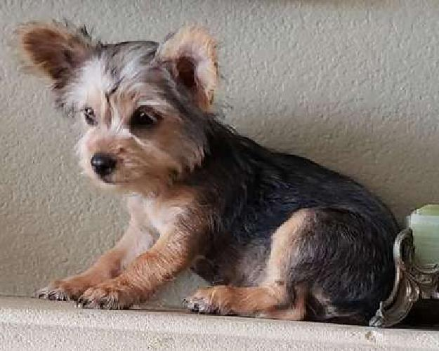 Tiny Toy Yorkie Girl Puppy! microchippe vet checked