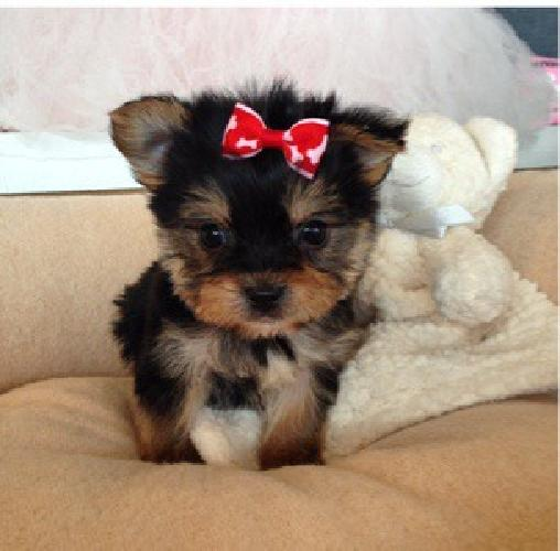 teddy bear puppies for sale in michigan toy morkie puppies dad 4lbs mom 6lbs teddy bear faces for 2065