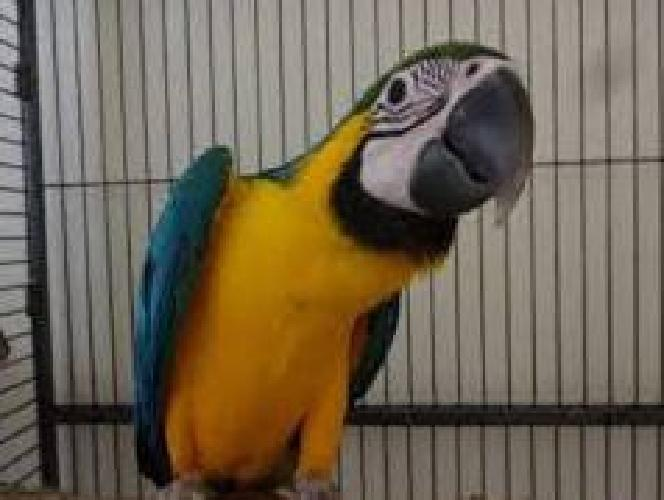 Trained female blue and gold macaw with cage