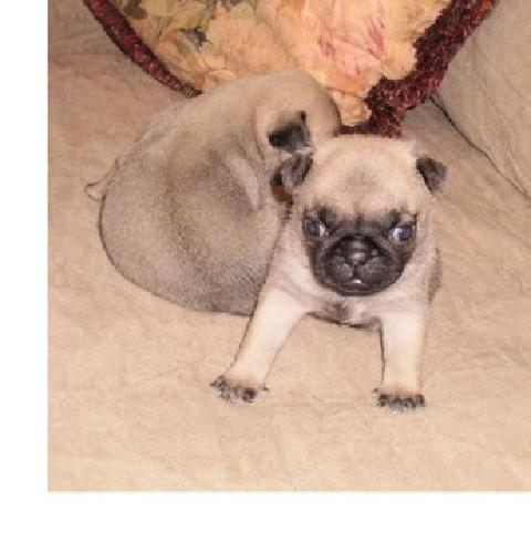 ..**...Two Chunky Pug Puppies For Adoption To Forever HOmes