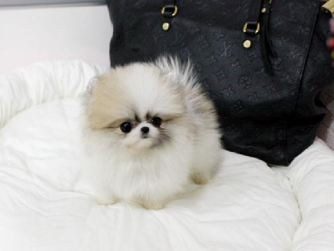 tyvnhg Top Cute AKC Tea-Cup Pomeranian Puppies Available