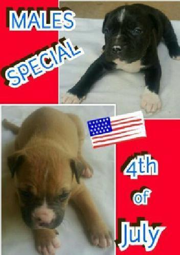 UKC,ABC AND ADBA REGISTERED Puppies