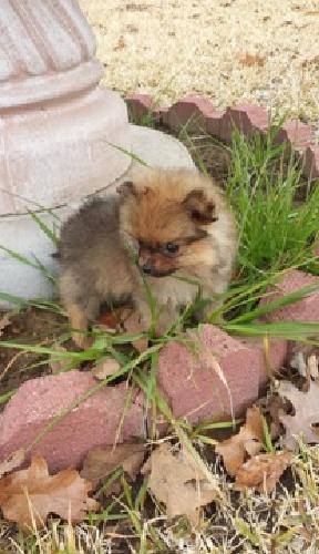 Valiant Pomeranian Puppies