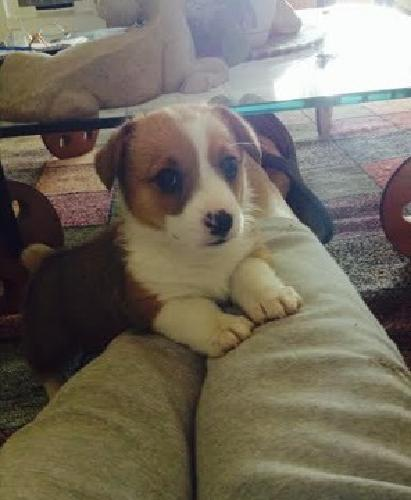 Vbctt Pembroke Welsh Corgi Puppies For Sale For Sale In Miami Beach