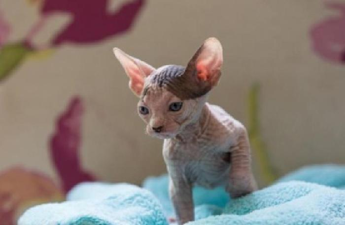 Very Courageous Sphynx Grate Cat House Train and Hand Fed