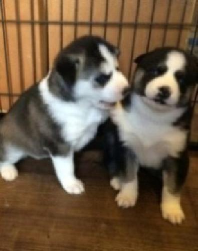 ..VKind lovely M/F Siberian husky puppies ''Text me at 916 x 234 x 7580 for info